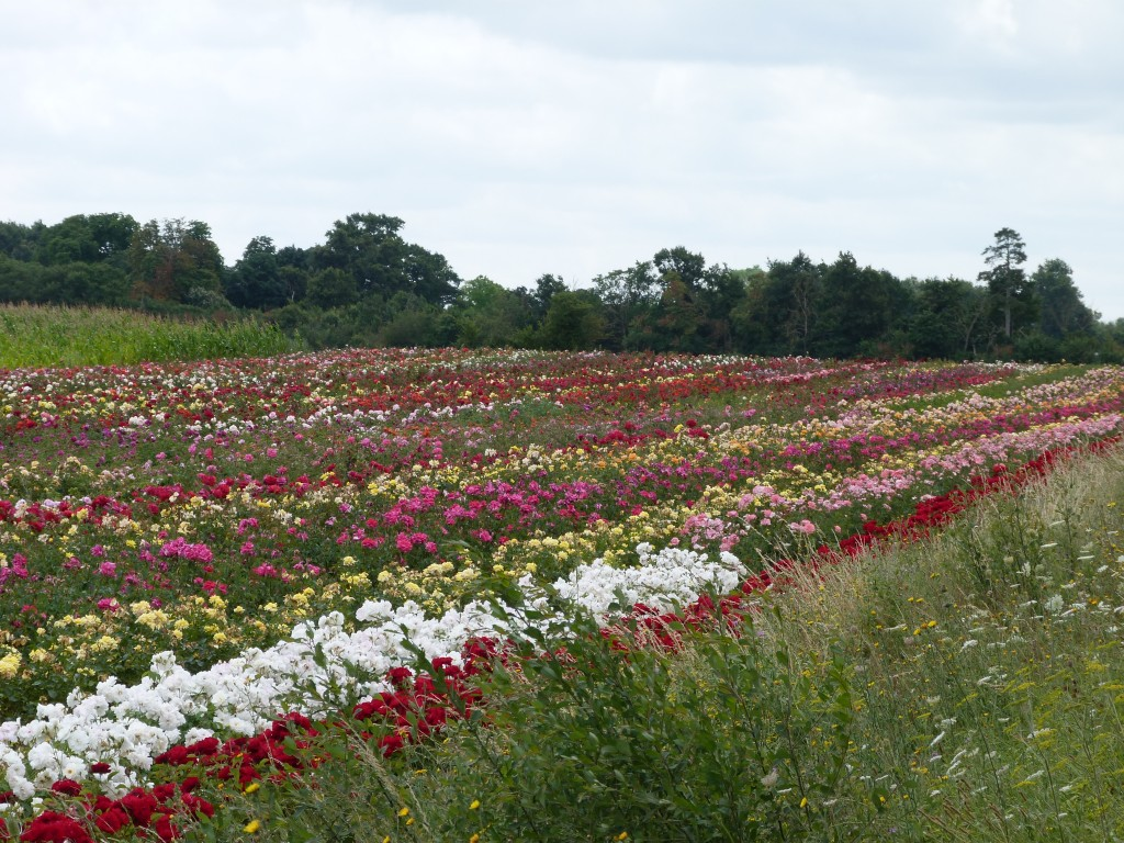 Champs de rosiers à Doué-la-Fontaine
