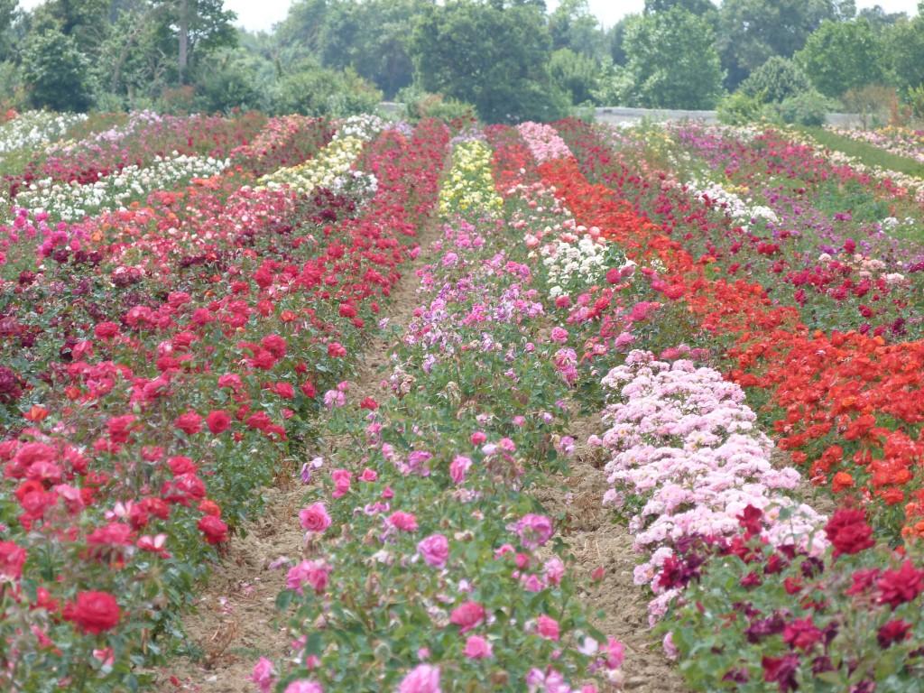 Les champs de rosiers à Doué-la-Fontaine